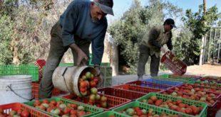 الطماطم المغربية